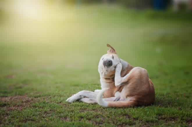 Bravecto antipulga e cachorro no prado