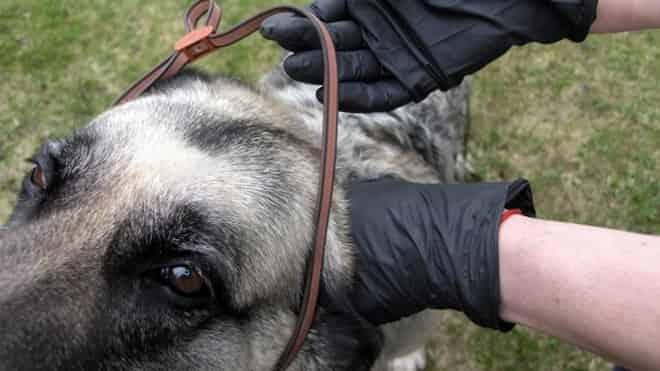 coleira antipulgas para cachorro